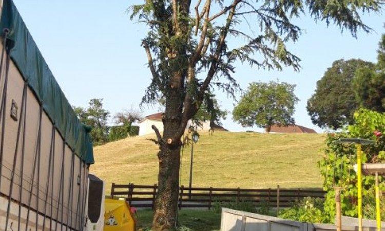 abattage d'un cèdre (en cours)